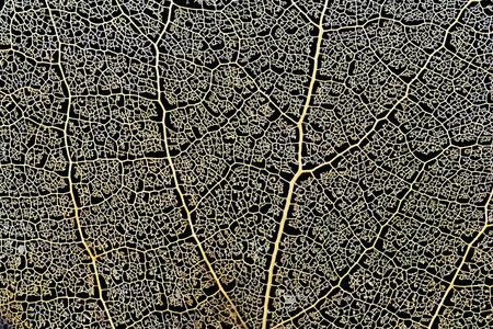スケルトン アスペン リーフ自然抽象的なテクスチャ 写真素材