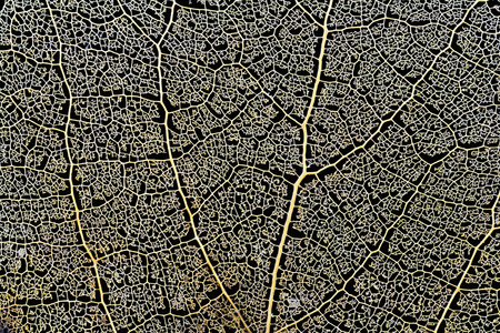 skeleton aspen leaf natural abstract texture