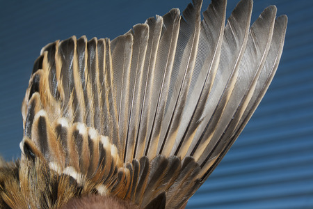 wing of brown sparrow closeup