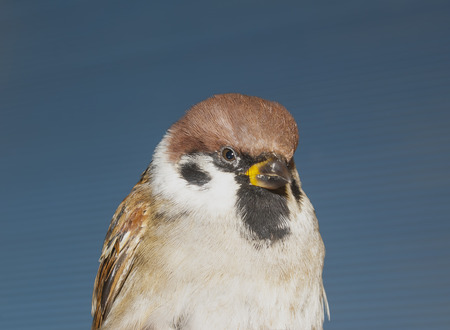 brown sparrow extreme closeup on blue background