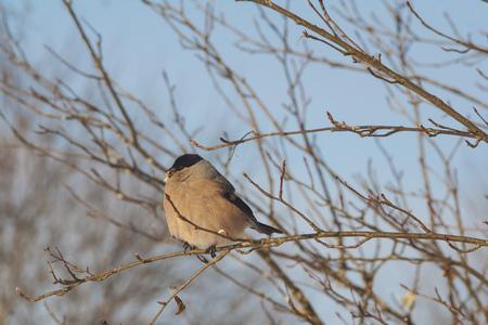 bullfinch on a branch closeup 写真素材