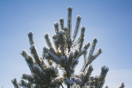pine tree against blue sky backlight 写真素材