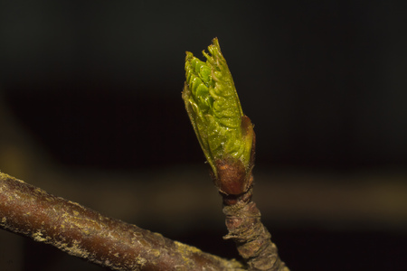 young green bud of a birch on dark background
