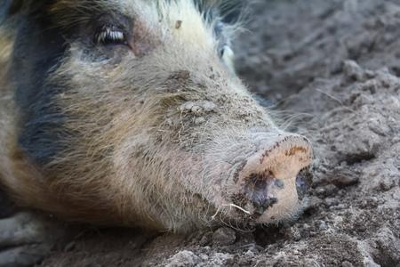 big dirty pig closeup 写真素材