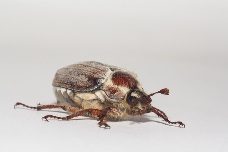 a big chafer on white background Banco de Imagens