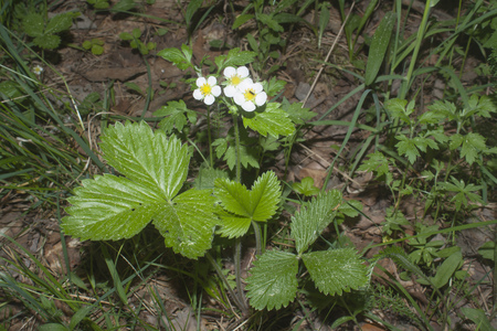 bush of wild strawberry with white flowers