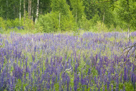 field with purple lupines, summer landscape