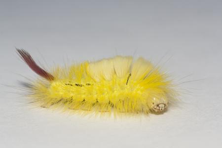 big, hairy caterpillar. maggot of Lymantriinae