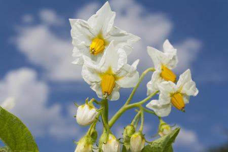 flowers of potato against blue sky