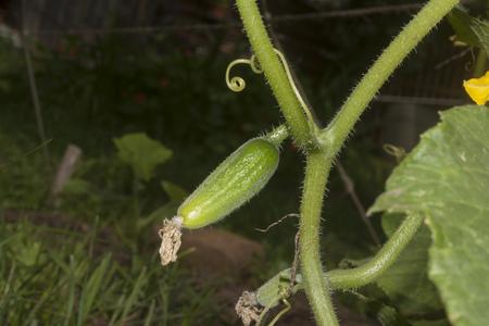 ovary of cucumber closeup 写真素材