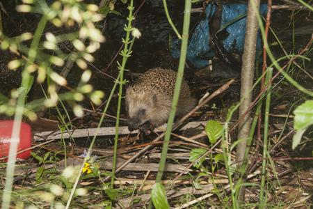 hedgehog, garbage... the usual modern forest landscape