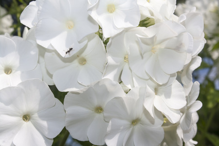 flowers of white phloxes closeup