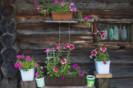 Flowering petunia on the wall of a log building