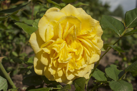 flower of yellow rose closeup 写真素材
