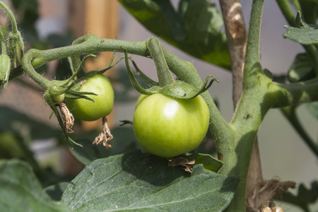 green tomatoes on a branch closeup
