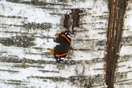 red admiral butterfly on a birch