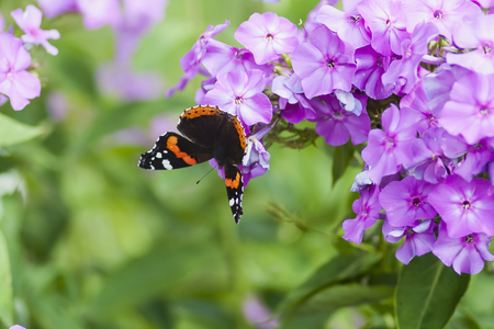 red admiral butterfly on phlox flower 写真素材