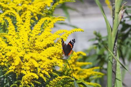 red admiral butterfly on a blooming yellow ambrosia