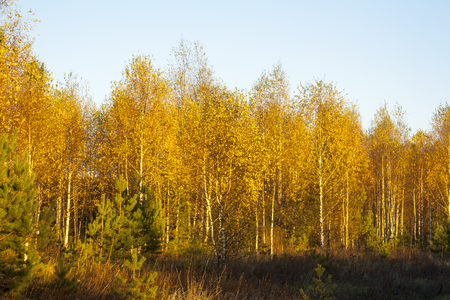 the golden autumn. yellow forest at the evening rural landscape 写真素材