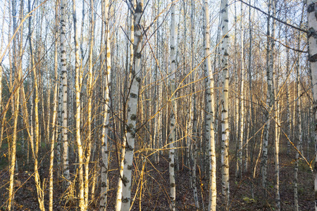 the birch grove at autumn rural landscape 写真素材
