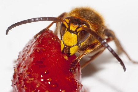 big hornet vespa mandarinia eating strawberry on white background