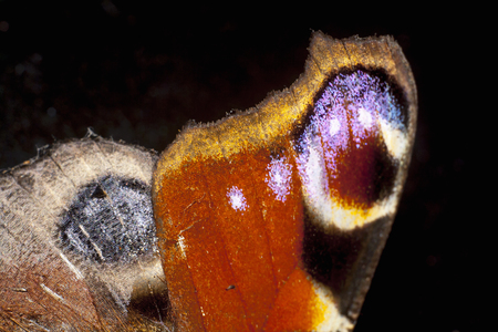 wing of great peacock moth extreme closeup Stok Fotoğraf - 113036972