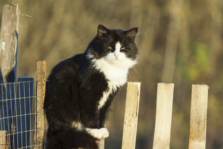 big cat on a wooden fence