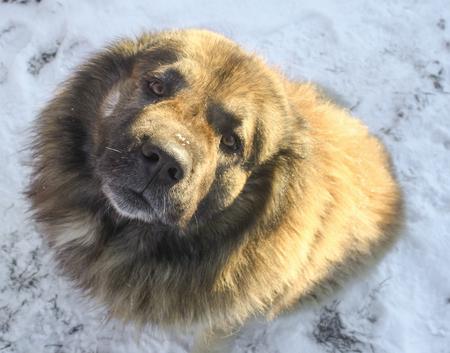 Caucasian Shepherd in a winter sunny day