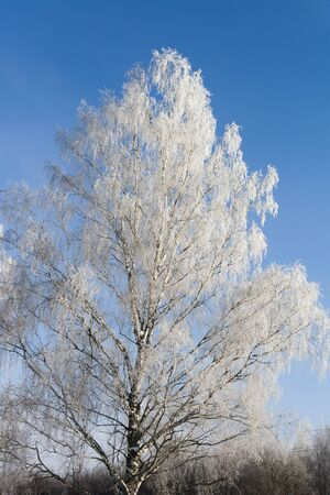 frosted birch against the blue sky