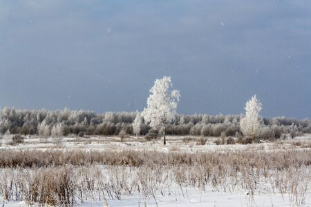 frosty birch in a field near the forest. winter landscape 写真素材
