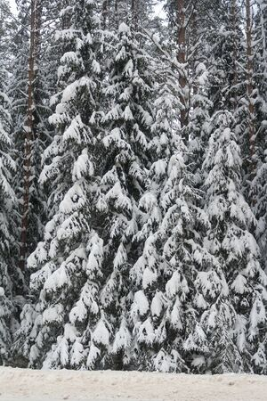 snowy spruce branches winter abstract background