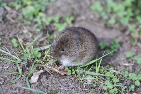 small brown harvest mouse in vivo