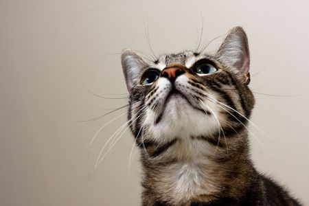 A tabby cat looking upwards with curiosity.