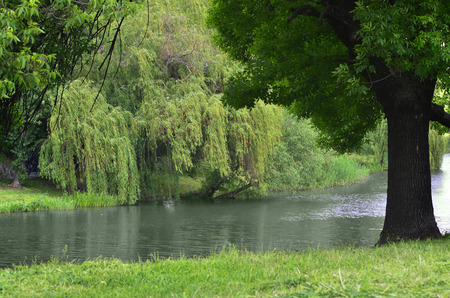 bent over: Willow tree bent over the picturesque lake water