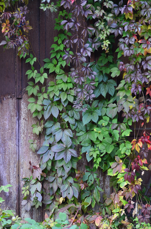 The pattern of colored autumn leaves with wooden fence 版權商用圖片