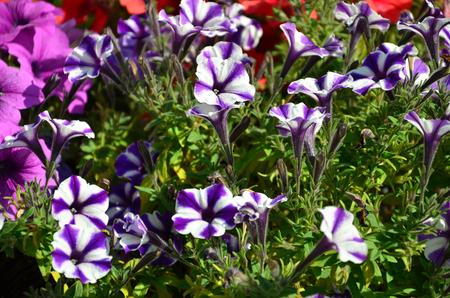 Flowerbed with multicoloured purple and violet petunias. Macro shot of beautiful colourful petunia (Petunia hybrida) flowers