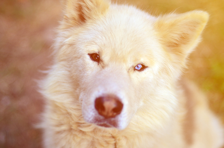 Toned portrait of the White Siberian Samoyed husky dog with heterochromia (a phenomenon when the eyes have different colors) in the daytime outdoors