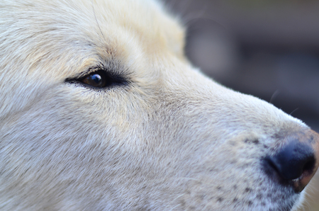 Portrait of the White Siberian Samoyed husky dog with heterochromia (a phenomenon when the eyes have different colors) in the daytime outdoors