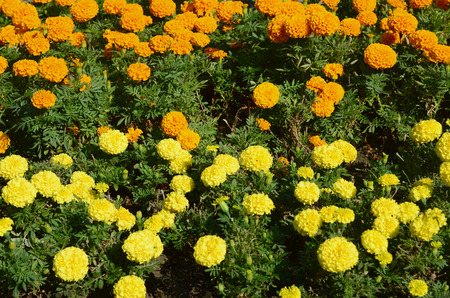 Blossoming marigolds flowers in the garden many small orange blossoming marigolds flowers in the garden many small orange and yellow flowers calendula in mightylinksfo