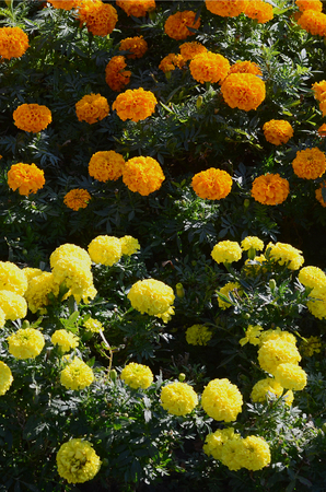 Blossoming Marigolds flowers in the garden. Many small orange and Yellow Flowers. Calendula in the park