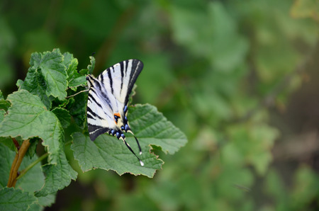 Scarce swallowtail (Iphiclides podalirius) rare european butterfly is sitting on the bushes of blossoming raspberries Stock Photo
