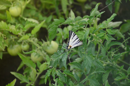 Scarce swallowtail (Iphiclides podalirius) rare european butterfly is sitting on the bushes of a blooming tomato