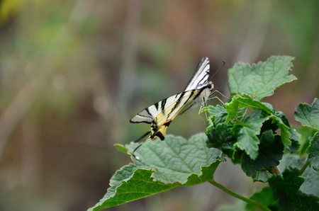 Scarce swallowtail (Iphiclides podalirius) rare european butterfly is sitting on the bushes of blossoming raspberries Reklamní fotografie