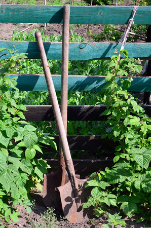 An old rusty shovel near the raspberry bushes, which grow next to the wooden fence of the village garden. Background image associated with seasonal harvests and long-term garden work Stock Photo