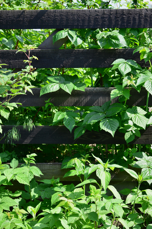 A huge bush of raspberry grows next to the wooden fence of the village garden. Background image associated with seasonal harvest