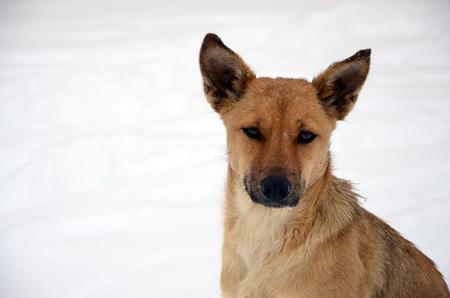 A stray homeless dog. Portrait of a sad orange dog on a snowy background Stock Photo