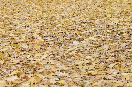 A large number of fallen and yellowed autumn leaves on the ground. Autumn background texture