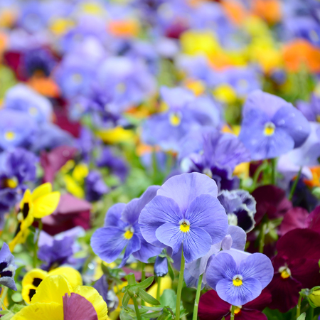 Multicolor pansy flowers or pansies as background or card. Field of colorful pansies with white yellow and violet pansy flowers on flowerbed in perspective. Archivio Fotografico - 118148862