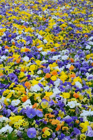Multicolor pansy flowers or pansies as background or card. Field of colorful pansies with white yellow and violet pansy flowers on flowerbed in perspective. Archivio Fotografico - 118145128