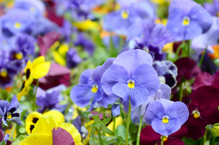 Multicolor pansy flowers or pansies as background or card. Field of colorful pansies with white yellow and violet pansy flowers on flowerbed in perspective. Фото со стока